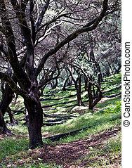Olive yard