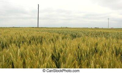 wheat field - wheat grain spring summer field