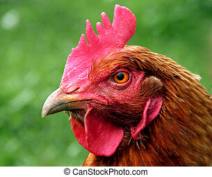 The hen. - The hen around the house. poultry, bird,