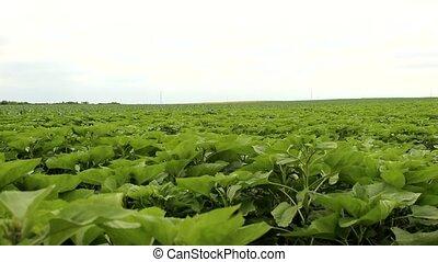 sunflower field - young sunflower field