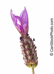 Single lavender flower on white background