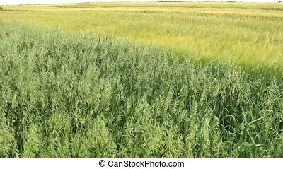 oats,wheat,barley field