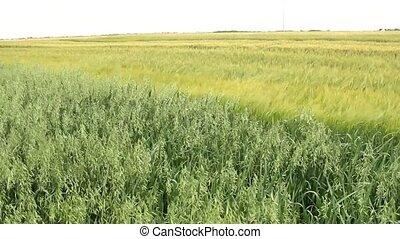 oats,wheat,barley field