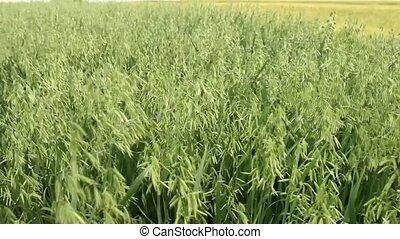 oats field - young oats field