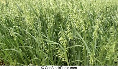 oats field - young oats field