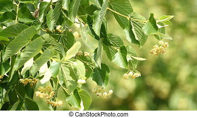 Blossoming  linden tree - Blossoming flowers of linden tree