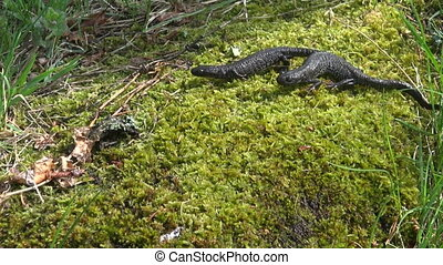 two Great Crested Newt Triturus - two Great Crested Newt...