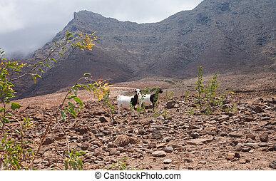 Southern Fuereteventura, goats in malpais