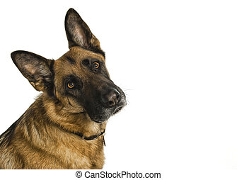 Short Haired German Shepherd - Short haired german shepherd...