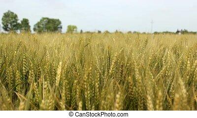 barley field - barley wheat field