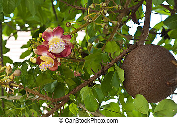 Cannon ball tree flower. - Beautiful cannon ball tree...