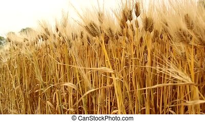 barley field - barley grain wheat field