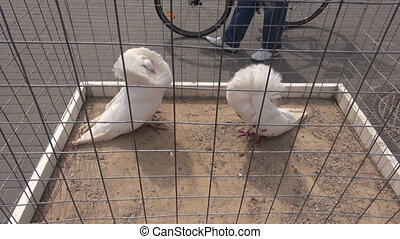 two white pigeons in cage on street