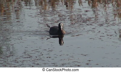 eurasian coot (Fulica atra) on lake water