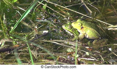 pair Little Water Frog( Rana) - pair Little Water Frog( Rana...