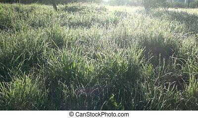 morning dew on summer grass