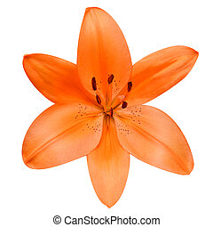 Open Orange Lily Flower Isolated on White Background -...