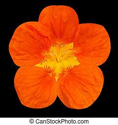 Orange nasturtium flower Isolated on Black