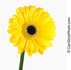 Yellow Gerbera Flower with Green Stem Isolated on White...