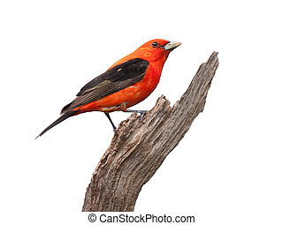 Tanager, Orgullo