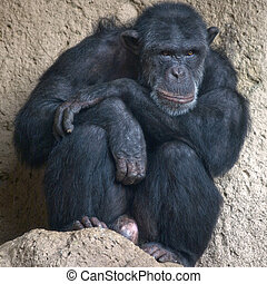 Chimp Portrait - Sitting chimp - taken at Loro Parque,...