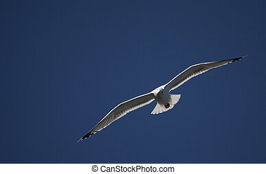 Sea Gull - Detailed view of a sea gull in flight