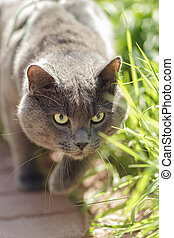 portrait of young british cat hunting, selective focus