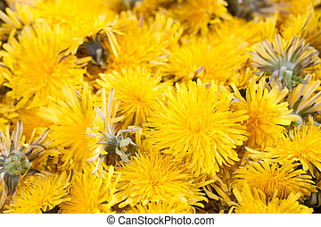 Dandelions background - Background made of beautiful bright...