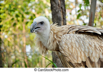 Himalayan Griffon - The Himalayan Vulture or Himalayan...