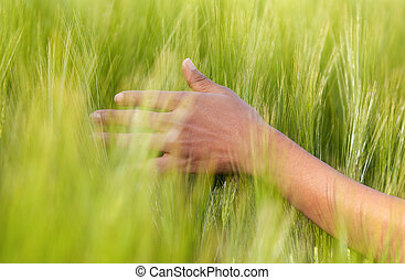 African American hand in wheat field - African people