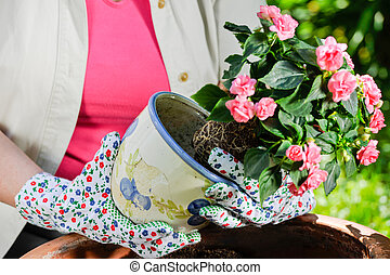 Planting flowers - A mature woman, flowers and pot, sunny...