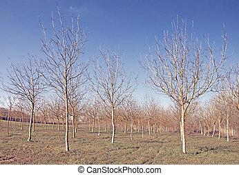 Poplar tree forest in winter landscape. Italy, Europe