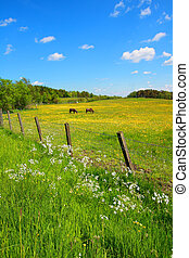 Springtime fields with horses and yellow flowers