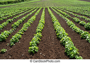 Lines of green vegetables in a farm field