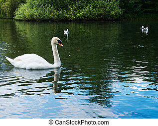 Swan in a water pond - Single white swan in a water pond