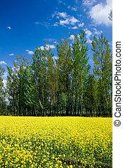 mustard field, kashmir,india