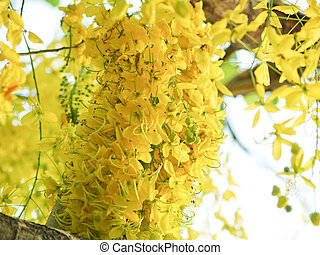 golden showers tree during summer