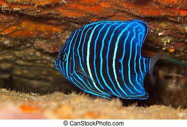 juvenile blue ring angel fish - young blue ring angelfish...