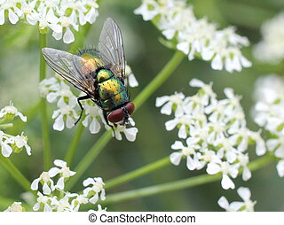 Greenbottle Fly on Cow Parsley