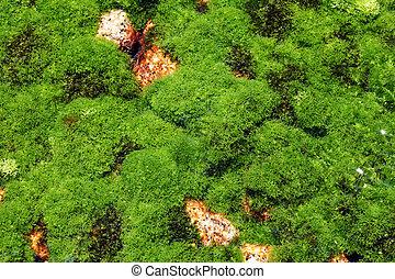 planta, algas