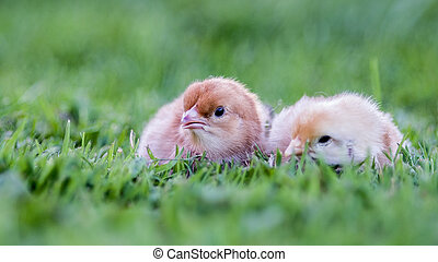 Stock Photo - Two chicks