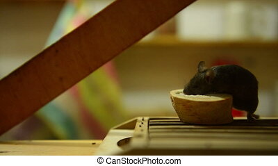 Fat mouse in the kitchen