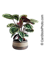 Potted Plant - Home plant with big leaves in flower pot...