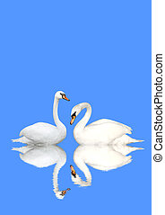 Two swans - Two white swans on blue background