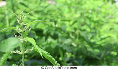 Young nettle green bush on grass background and light wind...