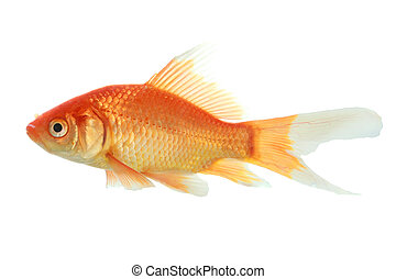 closeup of a goldfish isolated on white background