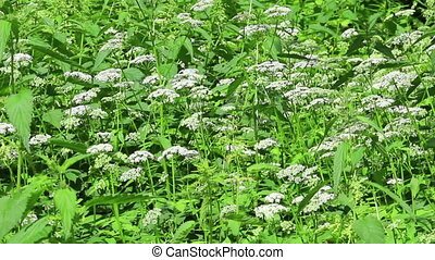 Background of nettle bushes - Background of young nettle...