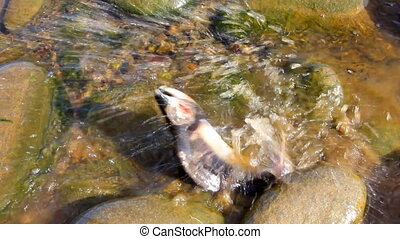 salmon after spawning - last hours a salmon after spawning