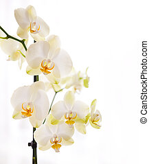 Orchid on white background