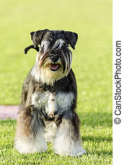 Miniature Schnauzer - A small black and silver Miniature...
